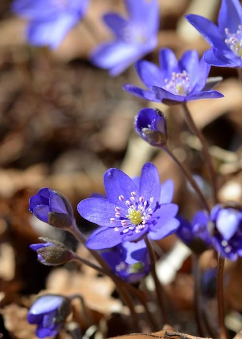 Blå Anemone. Foto Søren Faaborg Nielsen